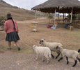 Inca Flock