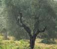Olivegrove, SantAnna